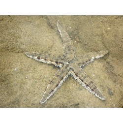Archaster typicus (Talla M)