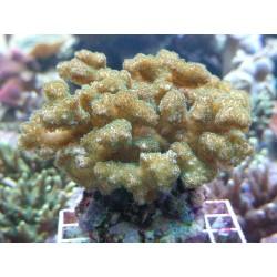 Pocillopora verrucosa3