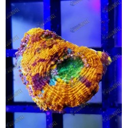 Acanthastrea Echinata Rainbow